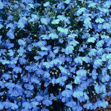 Lobelia-Cambridge-Blue