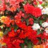 begonia illum mixed