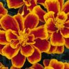 French Marigold Flame