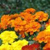 french marigold mixed