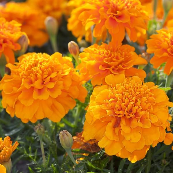 French Marigold Orange