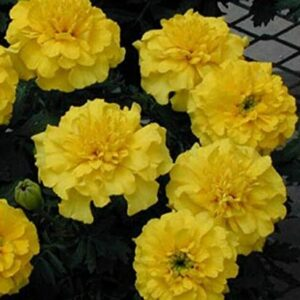 French Marigold Yellow