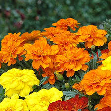 french marigold mixed