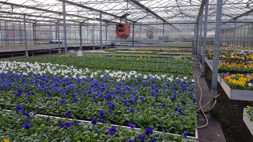 Bedding plug plants in nursery