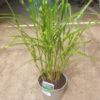 ornamental grass striped