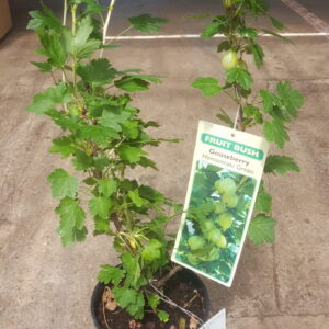 Gooseberry bush in pot