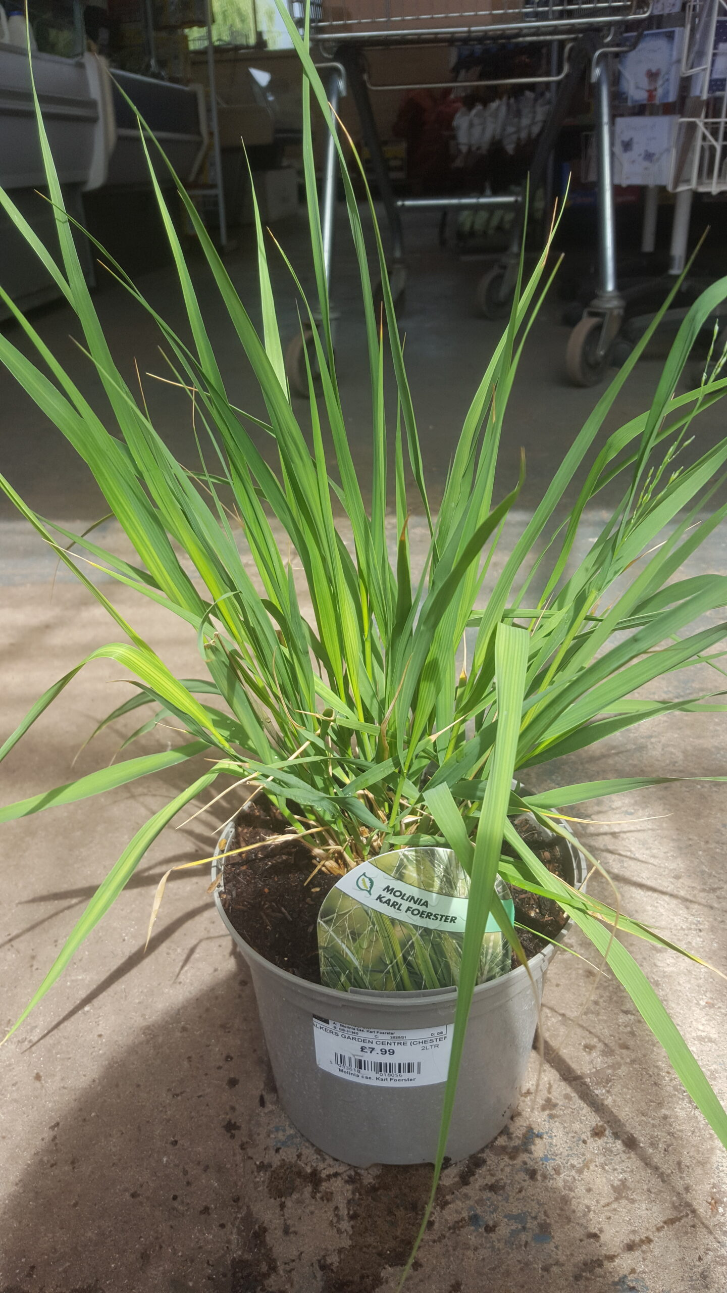 ornamental grass in pot