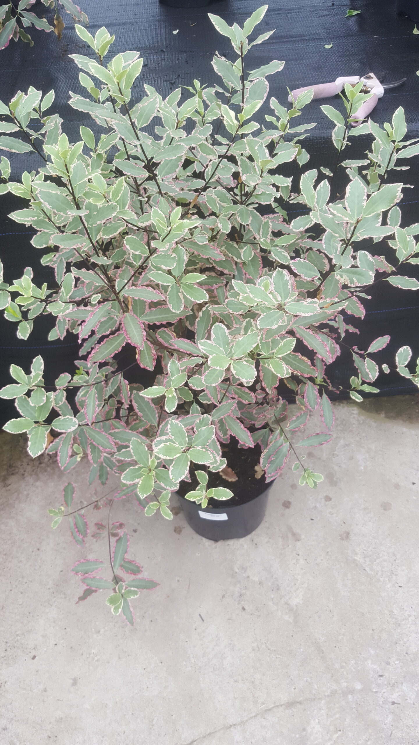 Shrub with pink edged leaves
