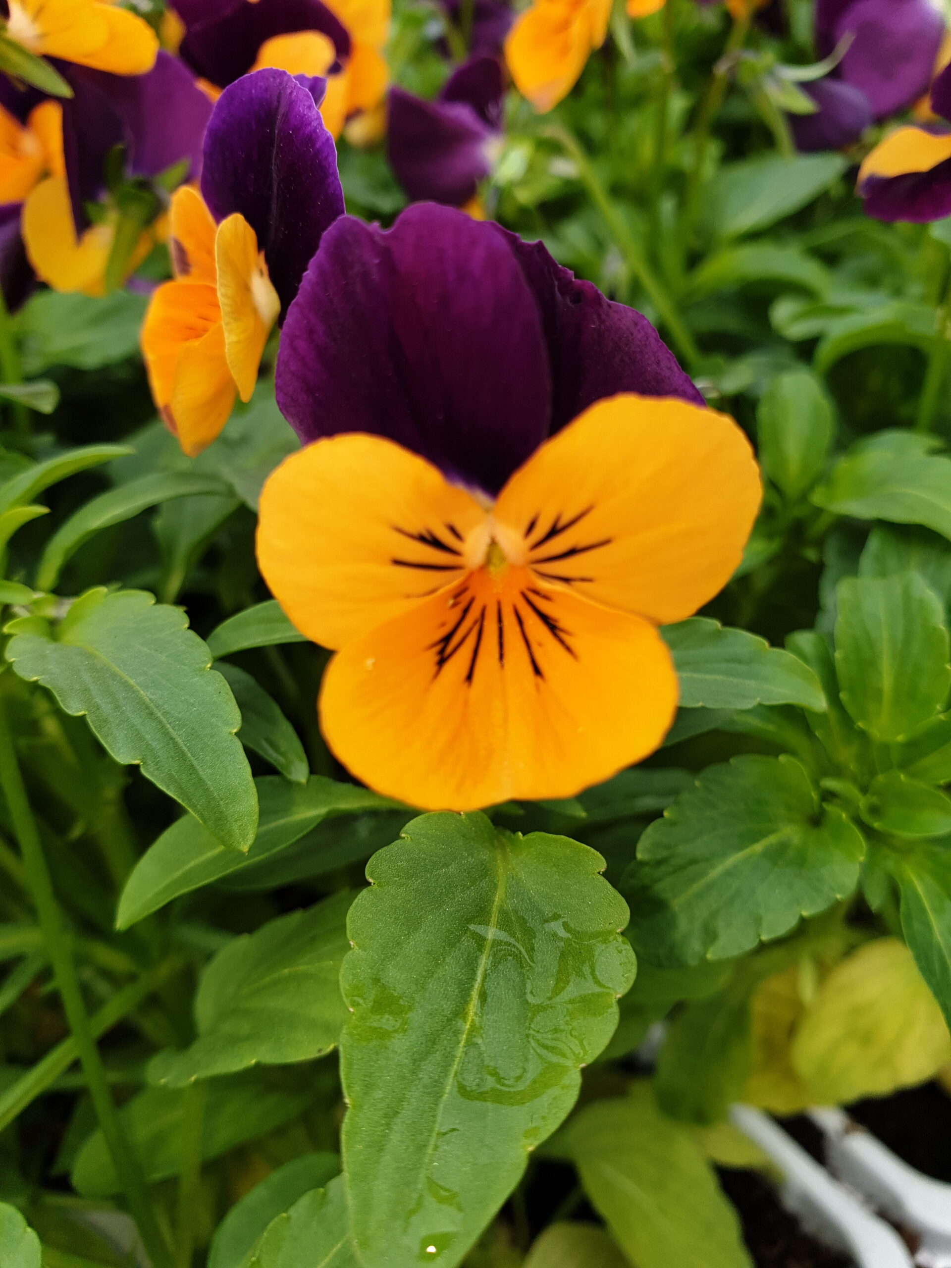 Viola Orange Jump Up