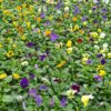 Viola Mixed in production