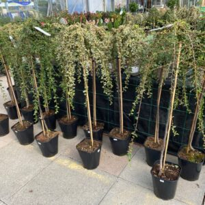 Cotoneaster group
